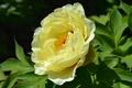 Picture peony, petals, yellow, macro