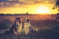 Picture sunset, dogs, australian shepherd, sundown, field, soulmates