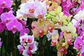 Picture flowers, bouquet, nature, orchids, Orchid, Phalaenopsis, flower