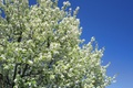 Picture the sky, tree, spring, white, flowering, sky, blossom, tree, Spring, flowering