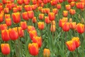 Picture flowers, widescreen, widescreen, widescreen, the Wallpapers, Wallpaper, tulips, HD wallpapers, full screen, Tulip, background, wallpaper, ...