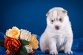 Picture flowers, husky, puppy