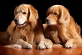 Picture pair, wool, Golden Retriever, handsome