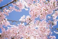 Picture tenderness, beauty, flowers, flowers, white, cherry blossom, pink, sakura, cherry, branches, park, cherry blossoms, spring, ...