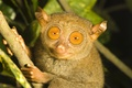 Picture eyes, branch, the primacy of, tarsier, tarsier