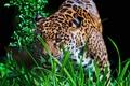 Picture grass, look, face, predator, Jaguar