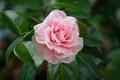 Picture tree, pink, petals, Camellia