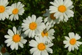 Picture grass, flowers, widescreen, Wallpaper, chamomile, Daisy, wallpaper, widescreen, a blade of grass, background, the Wallpapers, ...
