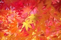 Picture maple, macro, branches, autumn, leaves