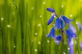 Picture bells, macro, grass, drops