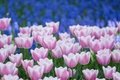 Picture flowers, Tulips, pink and white, petals, blue