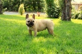 Picture girl, French bulldog, grass, French Bulldog