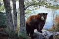 Picture Morning Watch, brown bear, bear, forest, painting, nature, Charles Frace