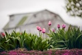 Picture drops, flowers, nature, rain, spring, tulips, bokeh