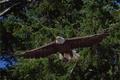 Picture trees, bird, predator, flight, Bald eagle