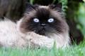 Picture cat, eyes, grass, eyes, blue, muzzle, beauty, huge, nature, Siamese, fluffy, portrait, lies, cat