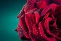 Picture drops, macro, Rosa, rose, petals