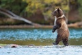 Picture predator, nature, fish, Grizzly, water, Bear, is, Canada, river