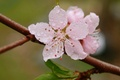 Picture macro, branch, flower, freshness, petals, flowering, Rosa, pink, spring, drops