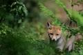 Picture grass, Fox, Fox