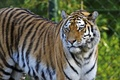 Picture cat, look, tiger, Amur
