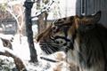 Picture predator, snow, winter, face, profile, fur, tiger, wild cat