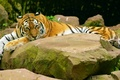 Picture look, tiger, stones, lies, striped, baleen