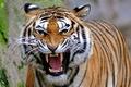 Picture roar, tiger, predator, grin