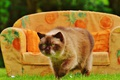 Picture greens, cat, summer, grass, cat, pose, heat, sofa, lawn, glade, model, pillow, garden, muzzle, beauty, ...
