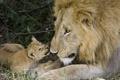 Picture cub, care, love, lions