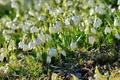 Picture snowflake, spring, primrose