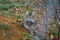 Picture autumn, cat, cat, kitty, grey, eagle, October, small, cat, Spasskoye-Lutovinovo, Mtsensk, kosancic