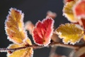 Picture macro, yellow, snow, ice, red, frost, leaves