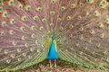 Picture feathers, pattern, tail, peacock, bird