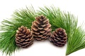 Picture bumps, branch, pine, New year