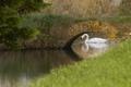 Picture white, Swan, bridge, river