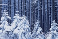 Picture new year, snow, forest, winter