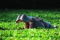 Picture Common Hippo, bathing, pond, or the hippopotamus (Hippopotamus amphibius), vegetation