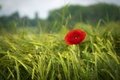Picture red, red, spring, Poppy, grass, greens, Mac, field, green, field, grass, spring