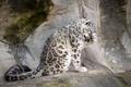Picture pose, predator, snow leopard, washes, paw, snow leopard, fur, tail, IRBIS, zoo, rocks, wild cat, ...
