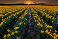 Picture field, sunset, flowers, nature, earth, the evening, yellow, the beds, Daffodils