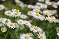 Picture flowers, widescreen, widescreen, flowers, background, widescreen, HD wallpapers, Wallpaper, flower, chamomile, greens, full screen, background, ...