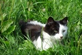 Picture cat, look, ears, grass, motley
