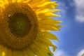 Picture the sky, macro, sunflower, petals