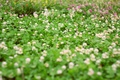 Picture bokeh, greens, clover, lawn