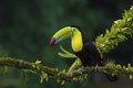 Picture jungle, branch, Toucan, bird, forest