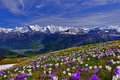 Picture grass, snow, flowers, mountains, spring, slope, Krokus