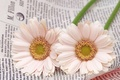 Picture macro, two white flowers, newspaper
