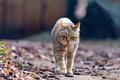Picture wildcat, wild cat, leaves