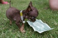Picture small, dog, dollar